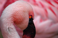 Pink beauty. This is a soft pink chile flamingo royalty free stock photos