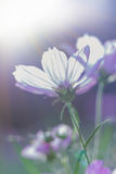 Pink beauty cosmos flowers under the sunshine. Cross process sty Royalty Free Stock Photography