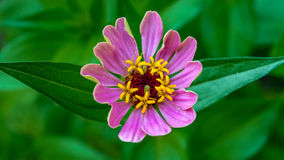 Pink beauty. Small pink flower with very interesting yellow stamens Stock Photo
