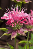 Monarda Marshalls Delight. Closeup of a whorl of beautiful clear pink bee balm flowers in bloom. Common names  Bergamot, Oswego Tea Stock Photos