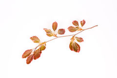Pink beech branch Royalty Free Stock Photography