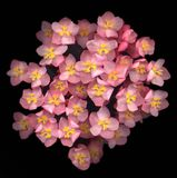 Pink begonia Stock Photo