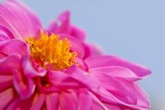 Pink Begonia Stock Images