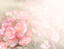 Pink begonia flower background Stock Image