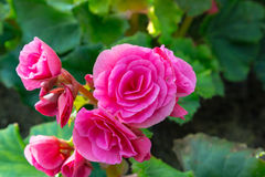 Pink begonia flower Royalty Free Stock Photo