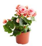 Pink begonia. Flower blooming in a pot, pink begonia Royalty Free Stock Photo