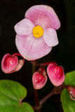 Pink begonia flower , close up, on dark background Royalty Free Stock Photography
