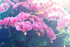 Pink begonia flower, fill color effect with vintage style. Royalty Free Stock Image