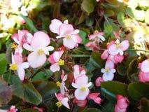 Pink Begonia flower Stock Images