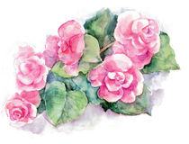 Pink begonia flower, watercolor Stock Photo