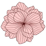Pink Begonia flower Stock Photography