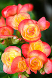 Pink begonia flowers Royalty Free Stock Photos