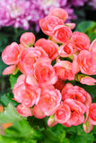 Pink begonia flowers Stock Images