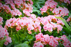 Pink begonia flowers blossom Royalty Free Stock Image