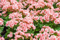Pink begonia flowers blossom Stock Images