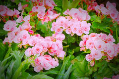 Pink begonia flowers blossom Stock Photo