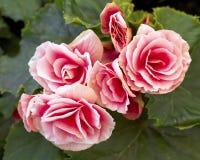 Pink begonia flowers closeup Royalty Free Stock Photo
