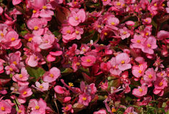 Pink Begonia flowers Stock Photos