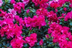 Pink Begonia flowers Stock Photography