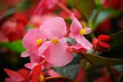 Pink begonia flowers Royalty Free Stock Image