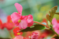 Pink begonia flowers Royalty Free Stock Photography