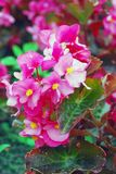 Pink begonia flowers in the garden Stock Photo