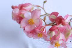Pink begonia flowers on a white background royalty free stock photography