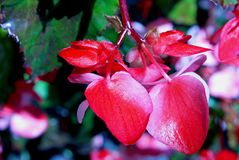 Pink Begonia flowwers. Begonia is a genus of perennial flowering plants in the family Begoniaceae. The genus contains more than 1,800 different plant species royalty free stock image