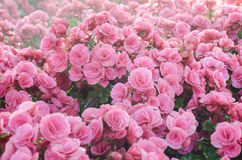 Pink begonia in the garden. Group pink begonia in the garden Royalty Free Stock Image