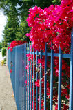 Pink begonia out of fence Stock Photo