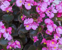 Pink Begonia. Pictured are pink Begonia.  Begonia is a genus of perennial flowering plants in the family Begoniaceae. The genus contains 1,795 different plant Stock Image