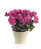 Pink begonia in pot Stock Photo