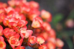 Pink begonias. Pink and yellow colored begonia (shallow DOF Royalty Free Stock Images