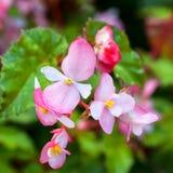 Pink Begonias Stock Photo