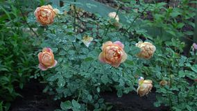 Pink and beige rose bush in english garden. Green nature background with place for text Summertime Royalty Free Stock Images
