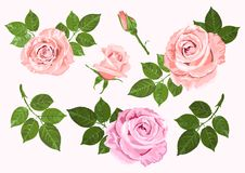 Pink and beige vector roses and leaves set isolated on the white. Pink and beige vector roses and green leaves elements set isolated on the white background for Stock Photos
