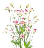 Pink bell flower  bunch on white background Stock Images