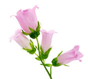 Pink bellflower Royalty Free Stock Photography