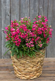 Pink Bellflowers in a Basket. Pink Campanula or also known as Bellflowers in a Basket in front on a wooden Background Royalty Free Stock Photos