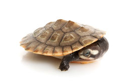 Pink-bellied Sideneck Turtle Stock Photo