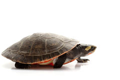 Pink-bellied Sideneck Turtle Stock Photography