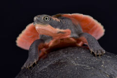 Pink-bellied turtle, Elseya schultzei. The Pink-bellied turtle, Elseya schultzei, is an extremely colorful turtle species found in Papua New Guinea and Australia Stock Images
