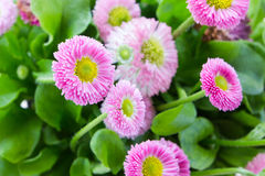 Pink bellis close up Stock Image