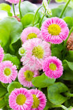 Pink bellis close up Royalty Free Stock Photo