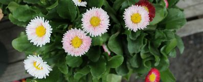 Pink Bellis Flowers with Yellow Center. Top Down View of Pink Bellis Flowers with Yellow Centers Royalty Free Stock Images