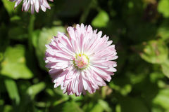 Pink bellis perennis Royalty Free Stock Photography