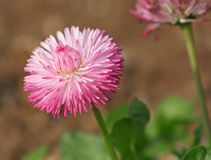 Pink Bellis Perennis Flower. Close up with green leaves and brown background Royalty Free Stock Images