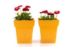 Pink Bellis in yellow flower pots Stock Photography