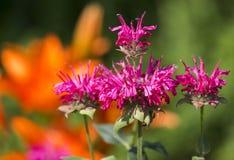 Pink Bergamot Stock Photos