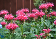 Pink Bergamot Flowers. In the garden royalty free stock image